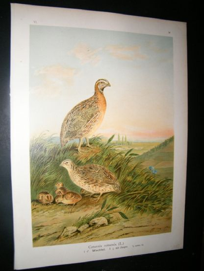 Naumann C1890's Folio Bird Print. Common Quail 6-14 | Albion Prints